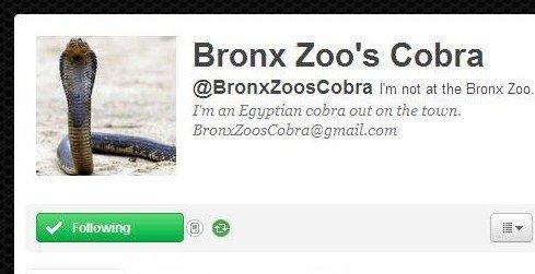 Cobra fuggito dal Bronx Zoo diventa una star su Twitter