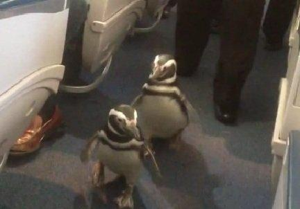 Pinguini a bordo sul volo Delta Airlines