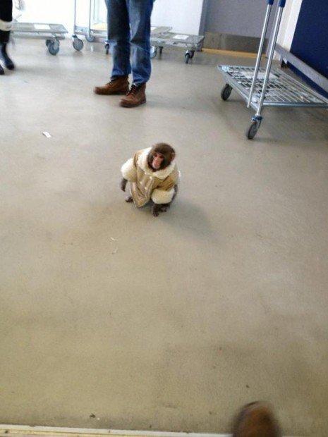 Ikea Monkey, la scimmietta col cappotto è fenomeno su Twitter