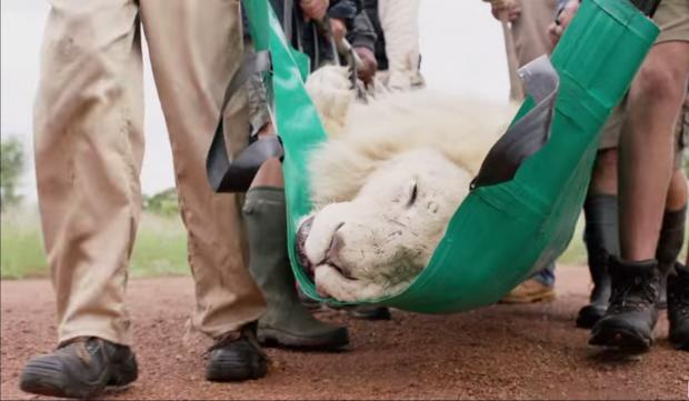 Fixodent restituisce l'orgoglio al leone bianco