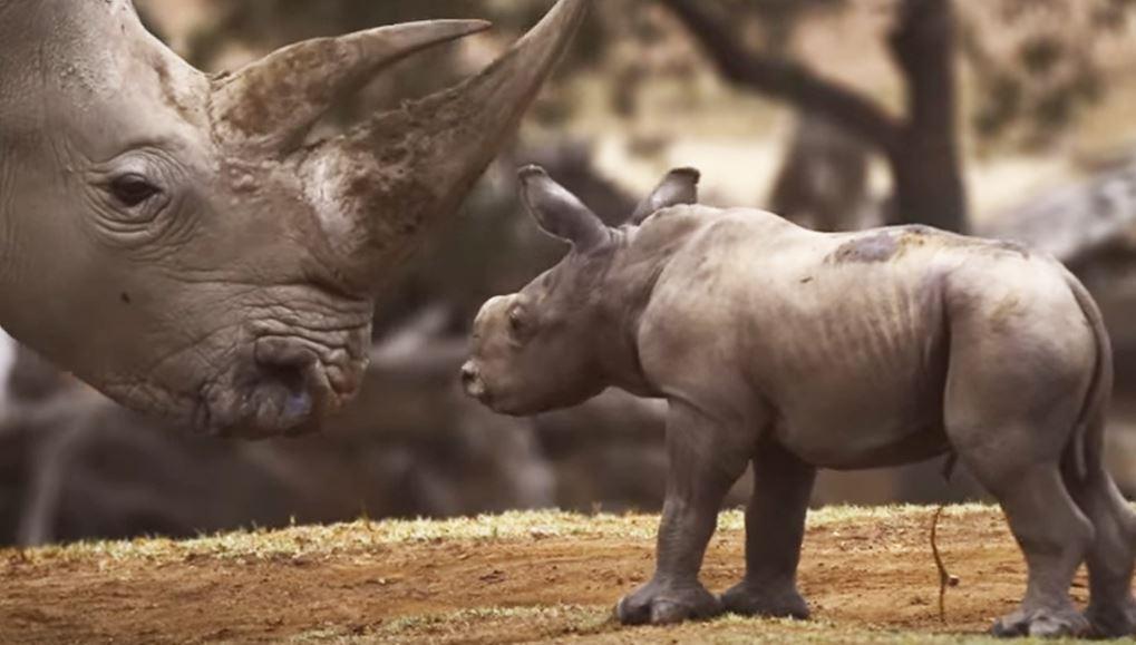 Facebook, Google e gli altri big del web insieme per salvare i cuccioli di tigre e rinoceronte