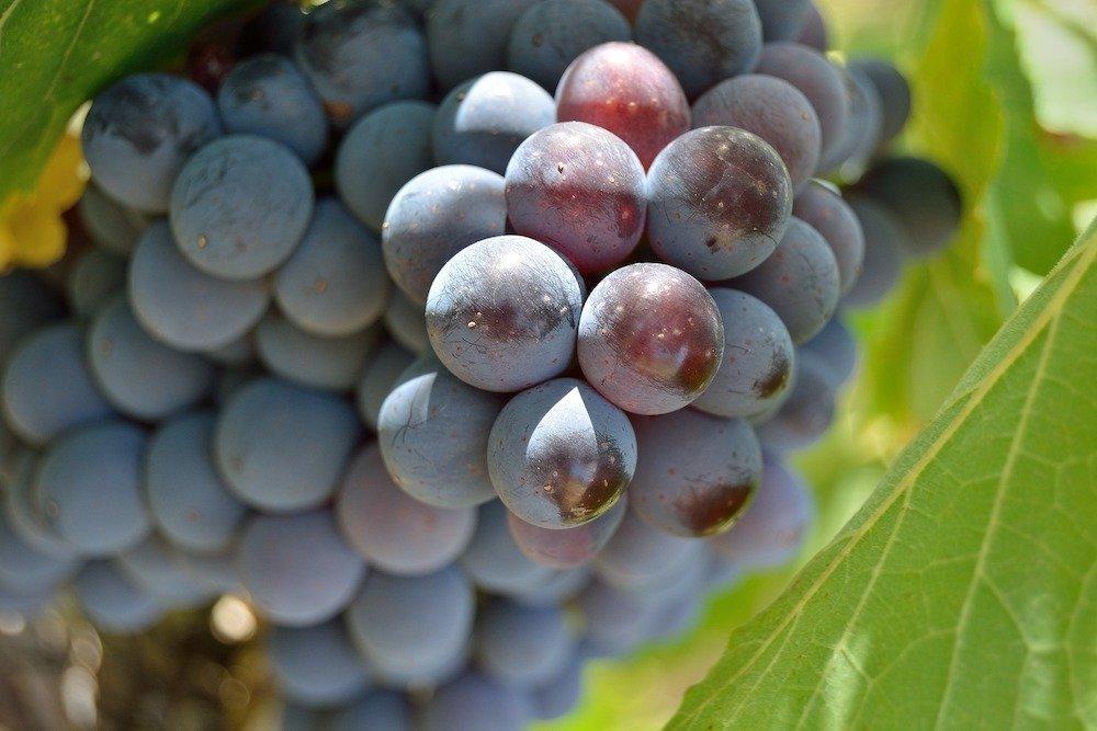 Questa startup produce tessuti dall'uva e ora è in mostra a Londra. Vegea