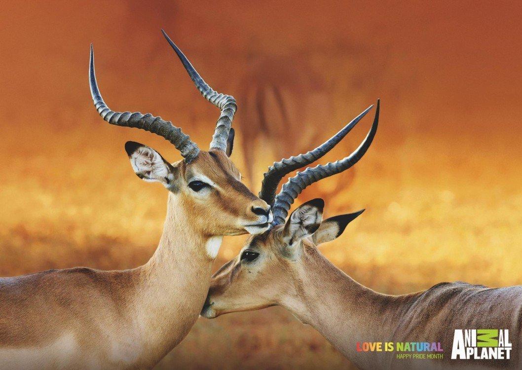 animalplanet_pride_impalas_thumb