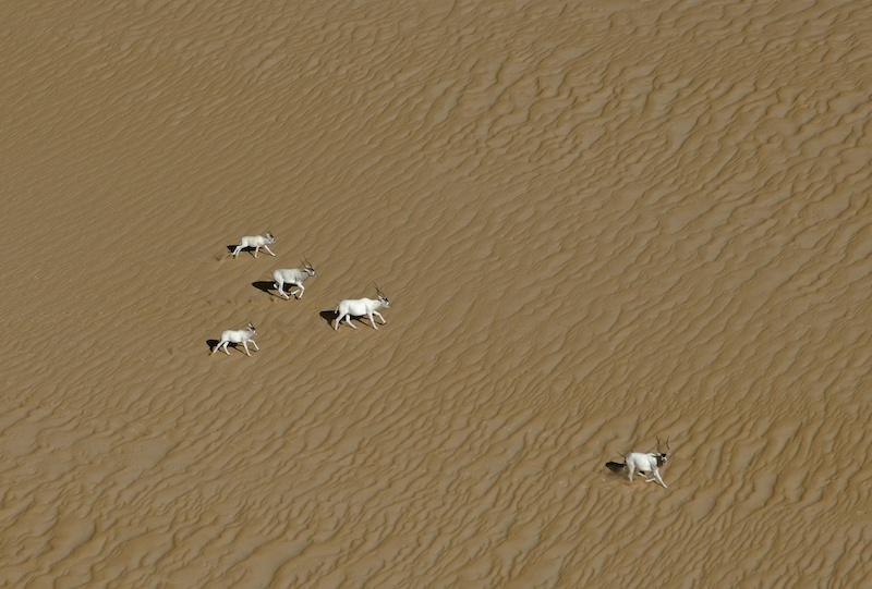 Addax-antilopi-sahara-conservation