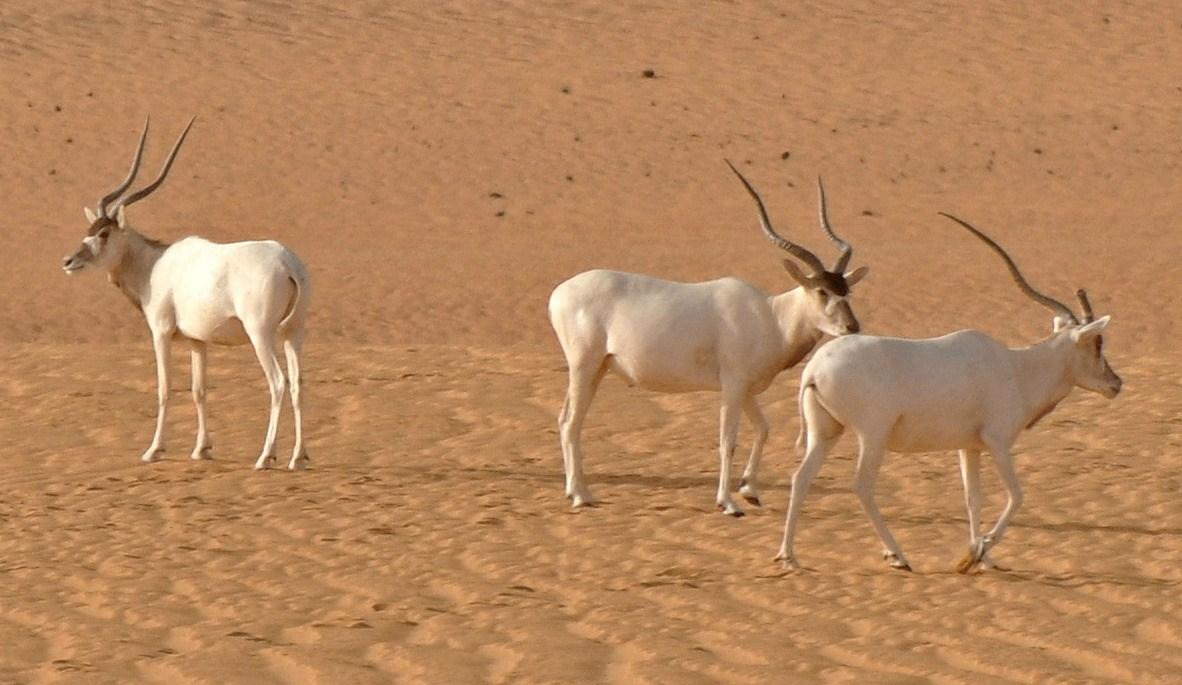 I droni vengono usati contro il rischio estinzione delle antilopi in Niger