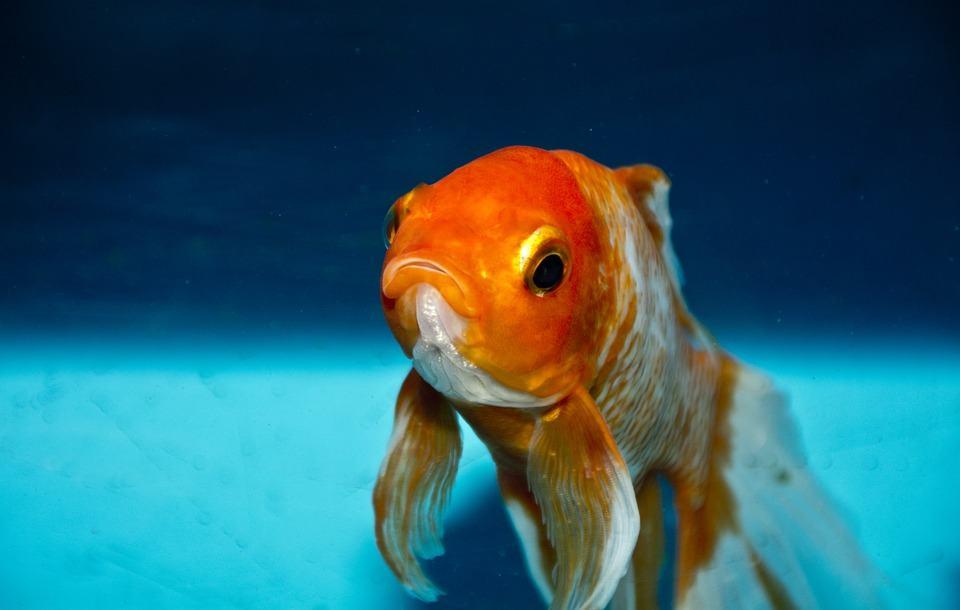 soglia attentiva da pesce rosso