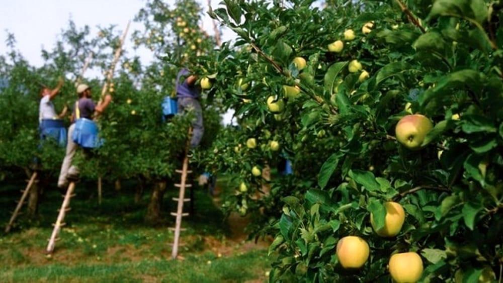filiera-agroalimentare-raccolta-frutta-italia