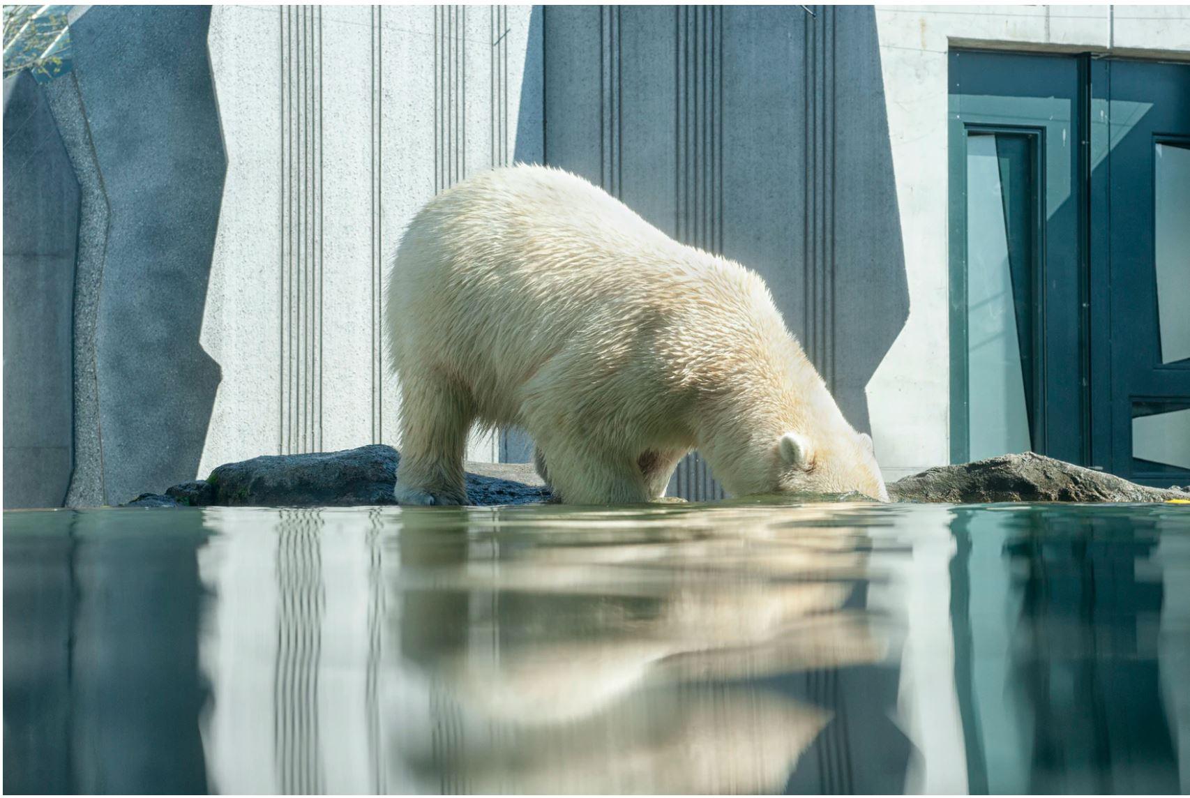 orso polare ecosistemi
